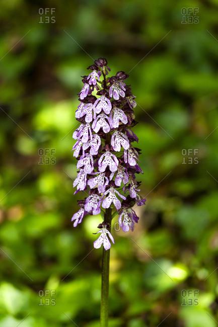 Broad-leaved marsh orchid (Dactylorhiza majalis) in bloom
