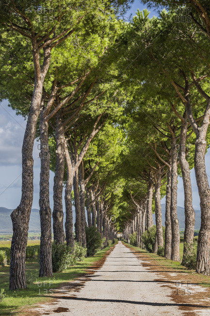 October 10, 2019: Italy, Tuscany, Castagneto Carducci . Road lined with maritime pines typical of the Bolgheri wine area.