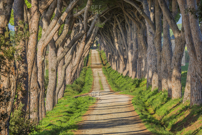 May 16, 2020: Italy, Tuscany, Castagneto Carducci. Road lined with maritime pines typical of the Bolgheri wine area.