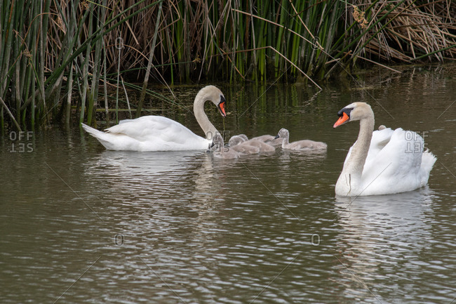 Two swans with babies swimming in a lake