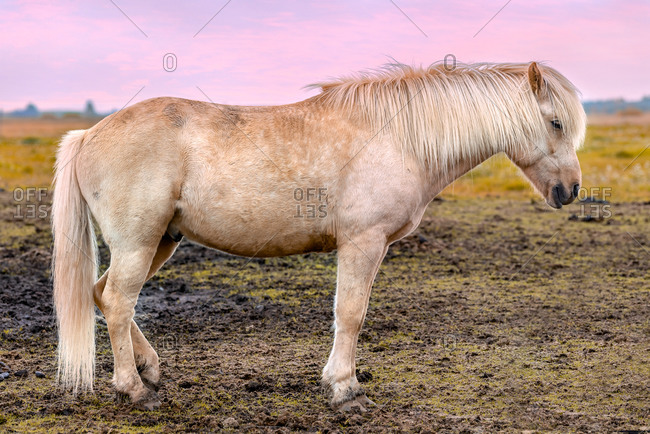 White Icelandic horse full body profile in Southern Iceland