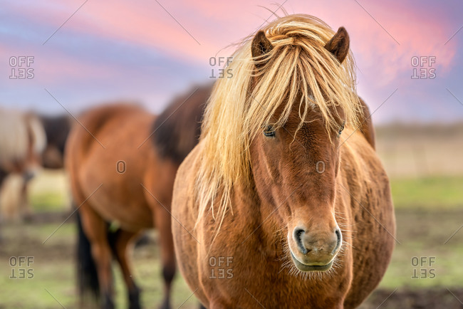 Portrait of an Icelandic brown horse with long blonde hair in Southern Iceland