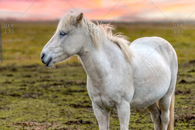 Portrait of a white Icelandic horse in Southern Iceland