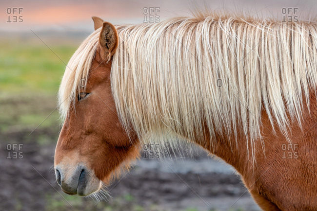 Profile of an Icelandic brown horse with long blond hair in Southern Iceland
