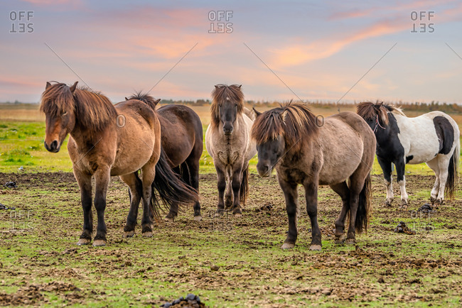Group of Icelandic horses in Southern Iceland