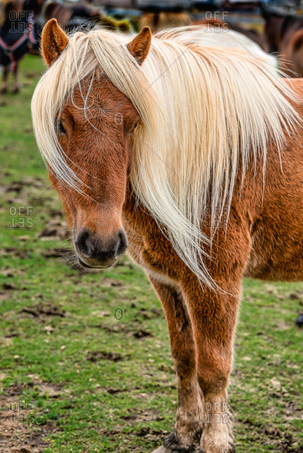 Portrait of a brown Icelandic horse with long blonde hair in Southern Iceland