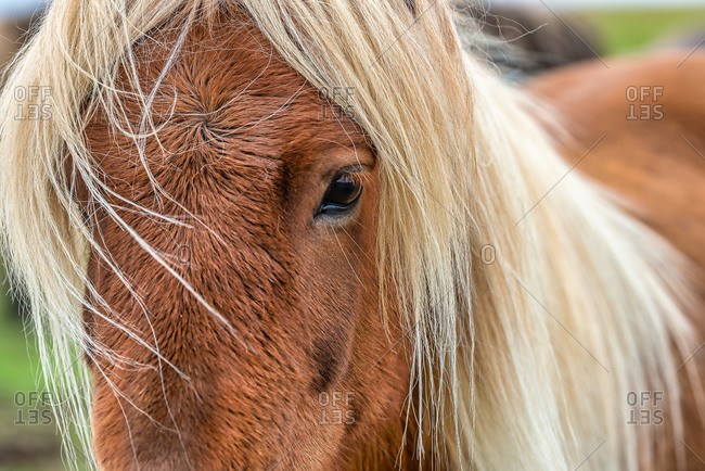 Close-up portrait of a brown Icelandic horse with long blonde hair in Southern Iceland