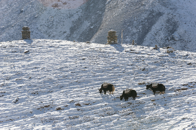 Yaks with supplies in the Everest region of Nepal
