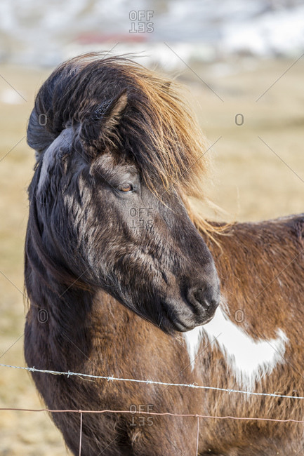 Icelandic horse in nature, Iceland