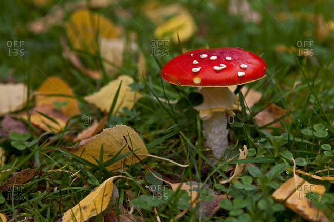 Toadstool between autumn leaves landscape image