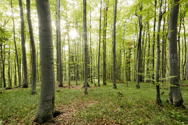 Beech forest, Carpathians, Slovakia, Europe