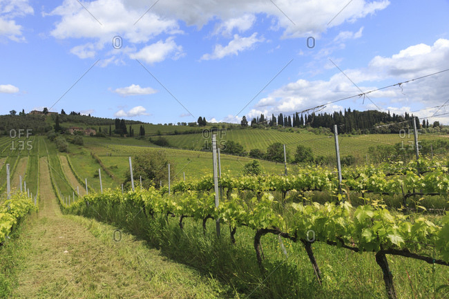 Chianti cultivation in Tuscany, Italy