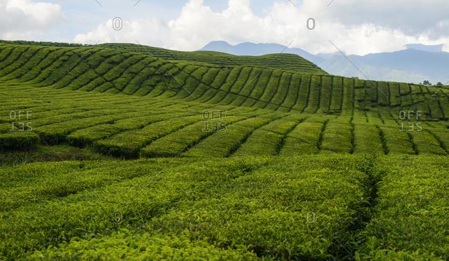 Tea plantations in Sumatra, Indonesia