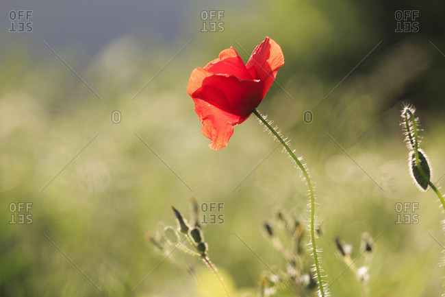Red poppy in bright green field