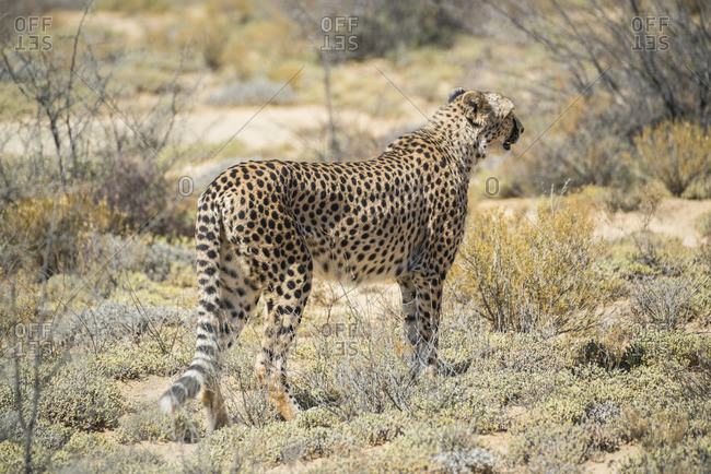 Cheetah, Inverdoorn Game Reserve, South Africa