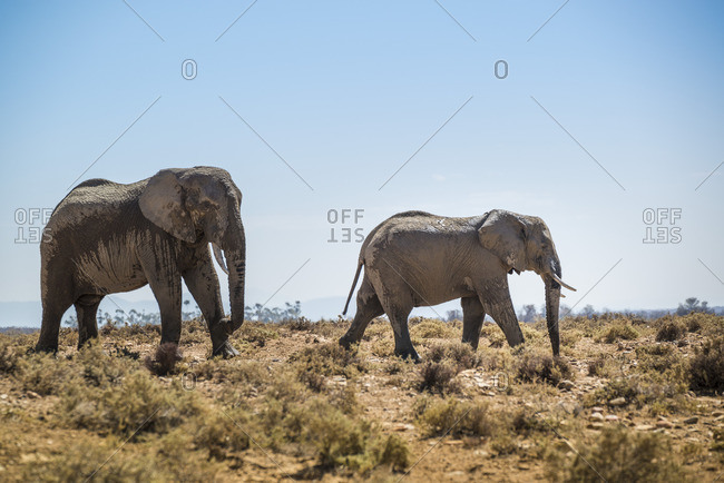Elephants, Inverdoorn Game Reserve, South Africa