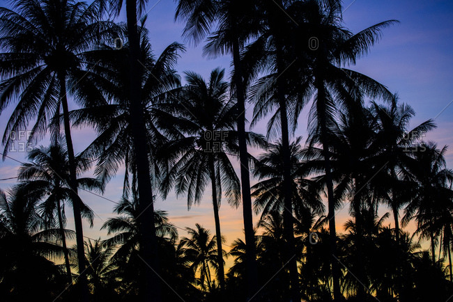 Palm trees from southern Luzon, Philippines