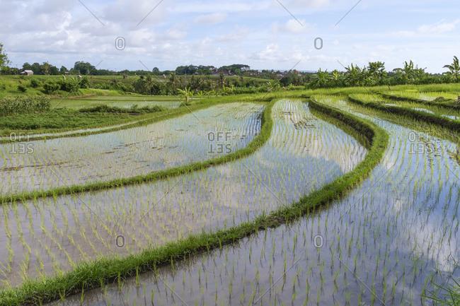 Rice field, Canggu, Bali, Indonesia, Asia