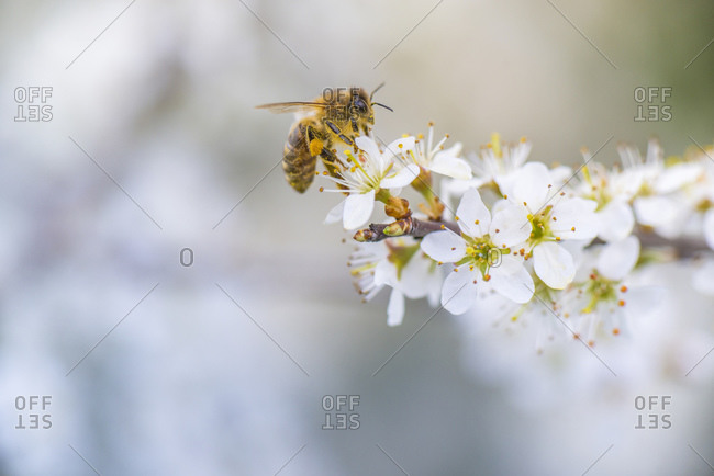 Spring, cherry blossom with honey bee