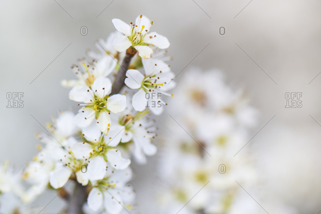 Spring, fruit tree blossom, cherry tree