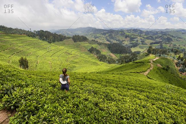Tea plantations in western Rwanda, Africa