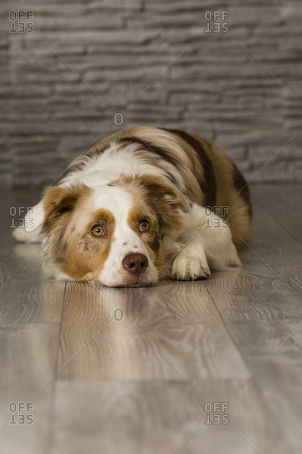 Cute border collie dog in the studio