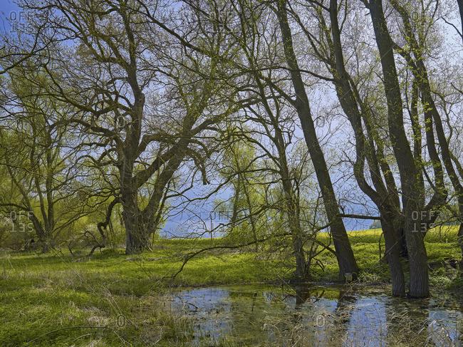 Black poplar near Sagard, Rugen, Mecklenburg-Vorpommern, Germany