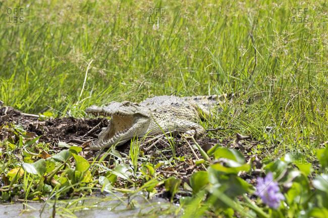 Crocodile (Crocodylia), Liwonde National Park, Malawi, Africa