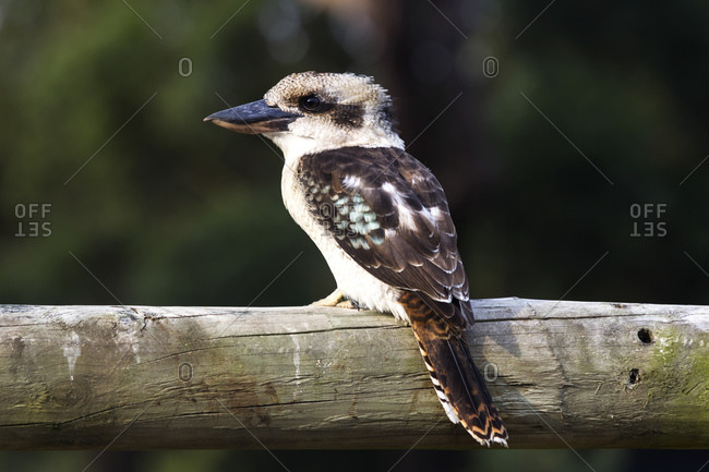 Kookaburra, also Jagerliest or Laughing Hans, Australia