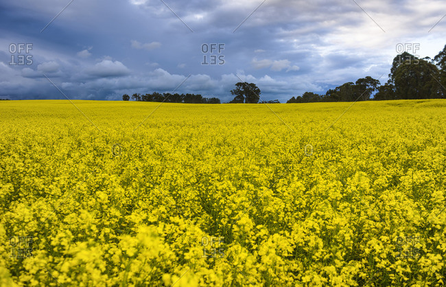 Rapeseed oil plantation, rapeseed field, South Australia