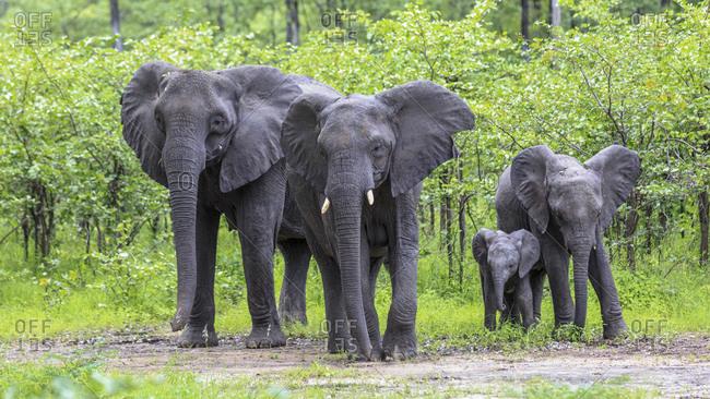 Elephant (Loxodonta africana), Liwonde National Park, Malawi, Africa