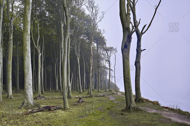 Ghost forest Nienhagen, Ostseebad Nienhagen, Mecklenburg-West Pomerania, Germany