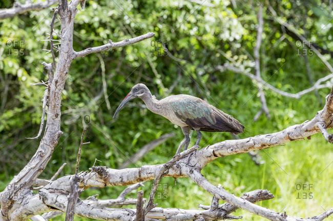 Hagedasch (Bostrychia hagedash), Liwonde National Park, Malawi, Africa