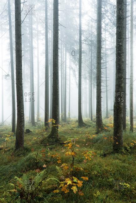 Herbstwald, Berchtesgadener Land, Upper Bavaria, Bavaria, Germany, Europe