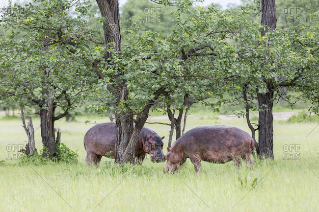 Hippo (Hippopotamus amphibious), Liwonde National Park, Malawi, Africa