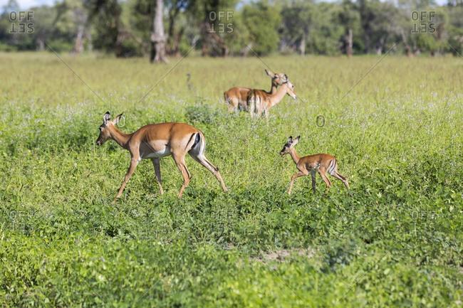 Impala (Aepyceros), South Luangwa National Park, Zambia, Africa
