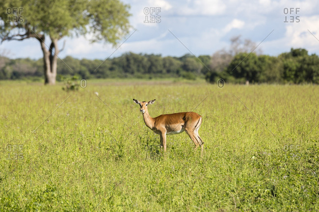 Impala (Aepyceros), South Luangwa National Park, Zambia, Africa