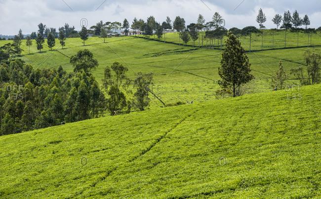 Tea pickers near Fort Portal in Uganda, Africa