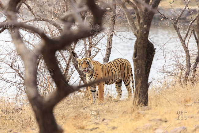 Tiger, Ranthambhore Tiger Reserve, National Park, Rajasthan, India