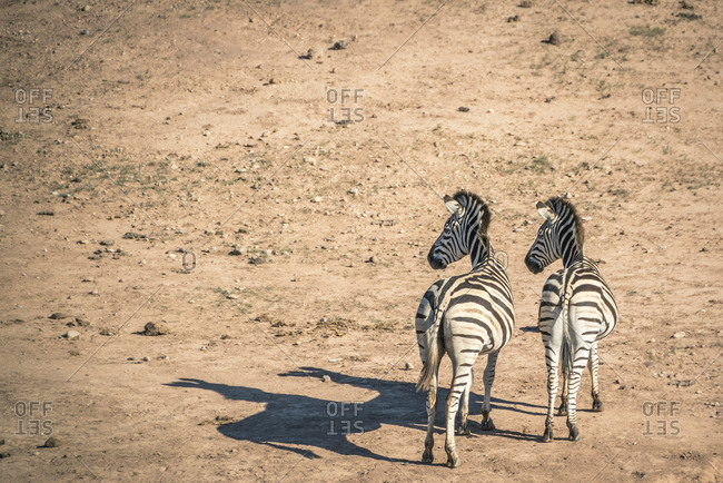 Zebras in Addo Elephant National Park, South Africa