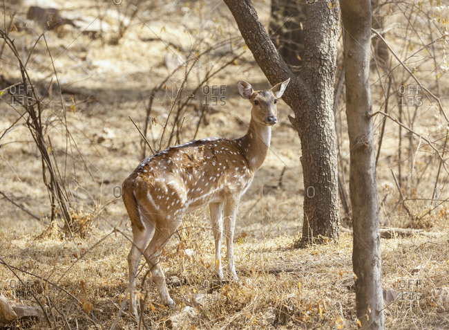 Ax stag, Ranthambhore Tiger Reserve, National Park, Rajasthan, India