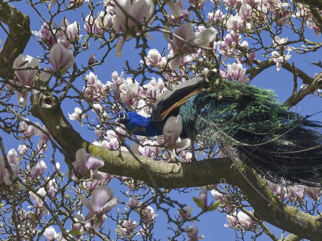 Black-winged peacock (Pavo cristatus mut. Nigripennis) in a magnolia