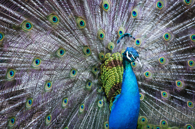 Blue peacock (P. cristatus), male during courtship, Tuscany, Italy
