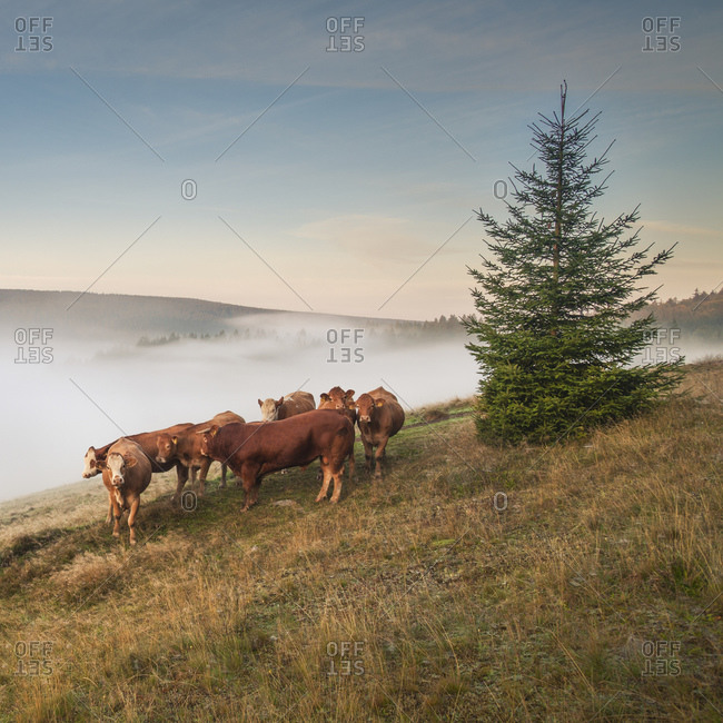 Cows grazing in the pasture, Scheibe-Alsbach, Thuringian Forest, Germany