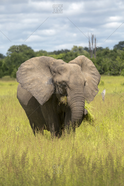 Elephant (Loxodonta africana), South Luangwa National Park, Zambia, Africa