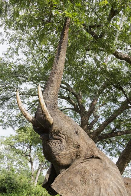 Elephant (Loxodonta africana), South Luangwa National Park, Zambia, Africa