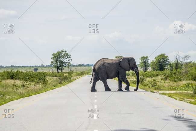 Elephant at the road, Chobe National Park, Botswana, Africa