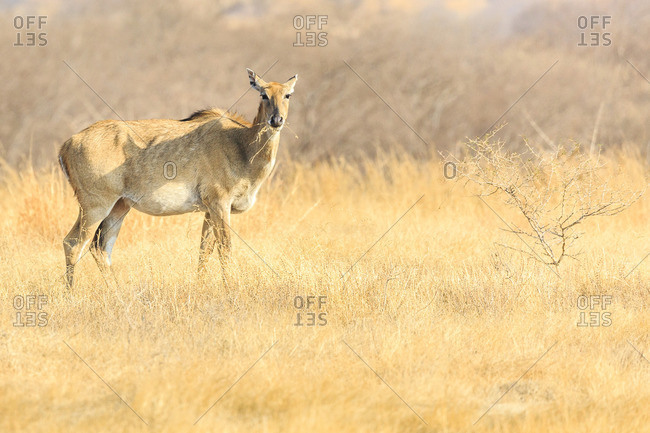 Four-horned antelope, Ranthambhore Tiger Reserve, National Park, Rajasthan, India