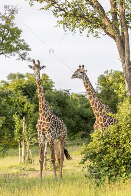 Giraffe (Giraffa camelopardalis), South Luangwa National Park, Zambia, Africa