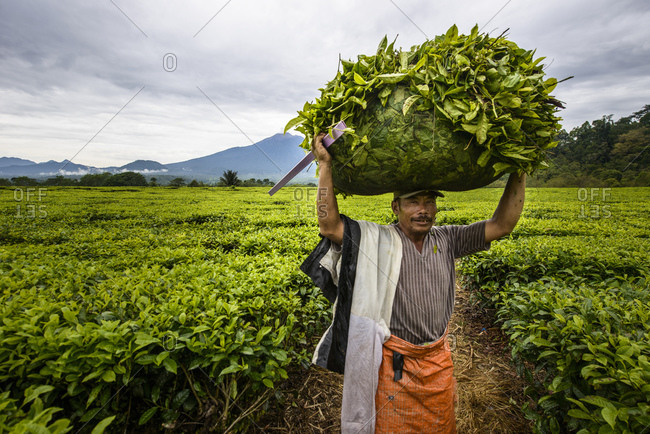 July 2, 2013: Tea leaves, pickers in Sumatra, Indonesia